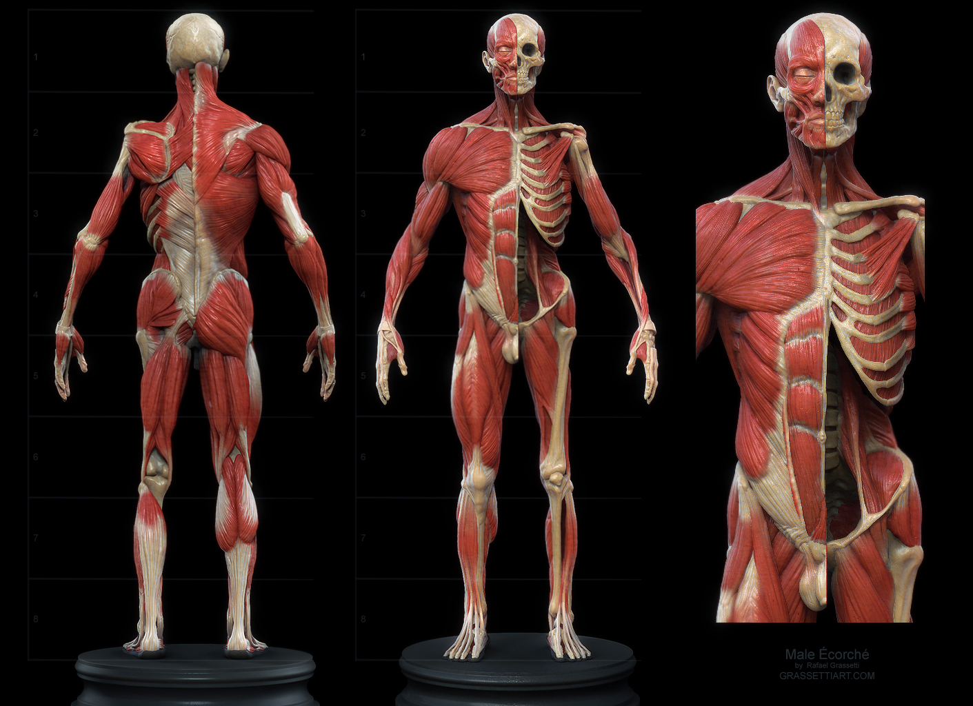 Human Anatomy Reference Model What Shall I Buy Polycount