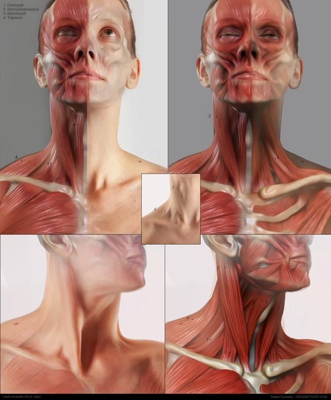 neck_muscles01l